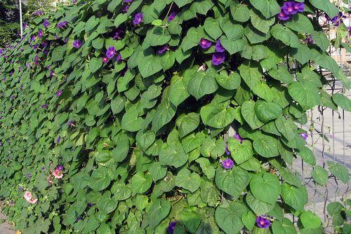 Вьющиеся растения на сетчатом заборе