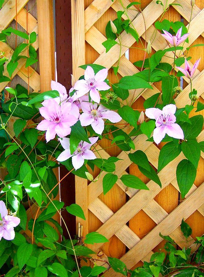 Изгородь из дерева для вьющихся цветущих растений
