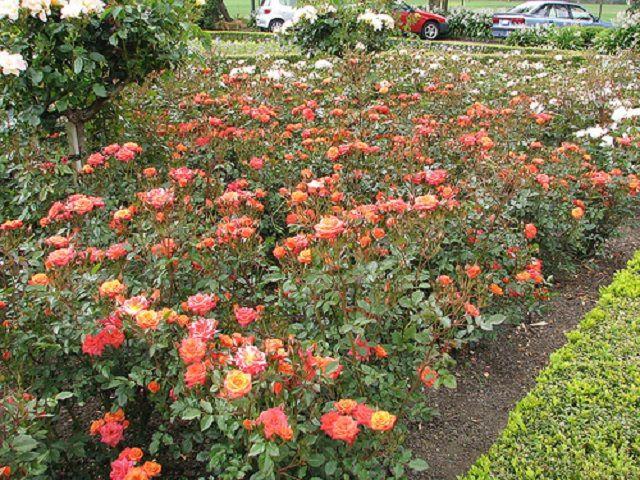 Массив из кустов роз
