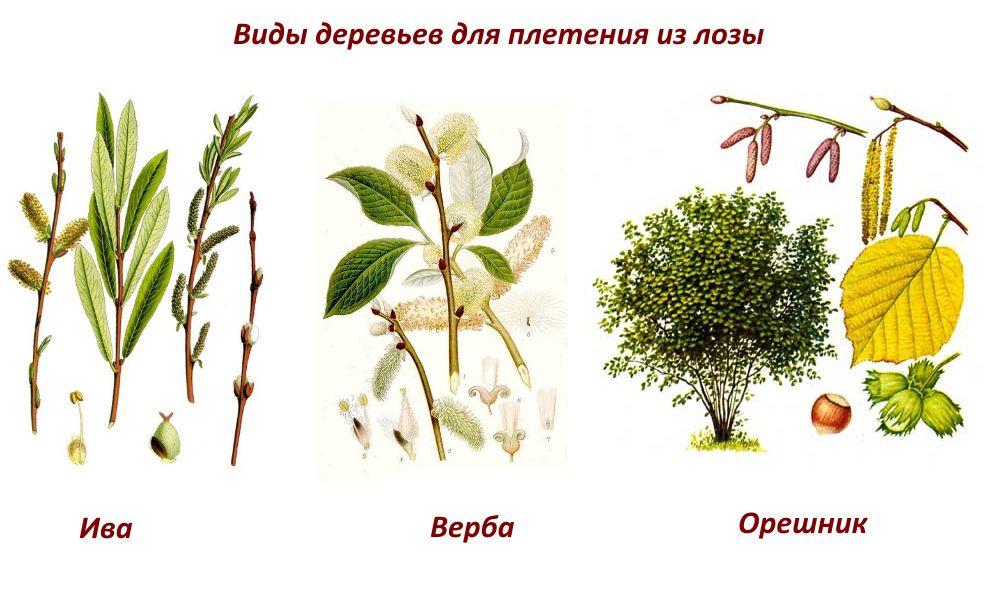 Виды деревьев для плетения забора из лозы