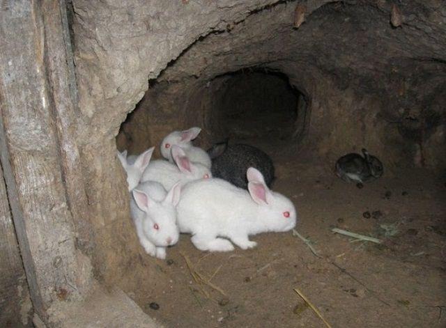 Хорошие результаты дает содержание некоторых пород кроликов в условиях, приближенных к естественной среде их обитания