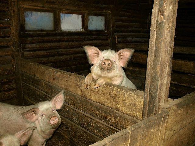 Стены внутри свинарника можно обшить досками