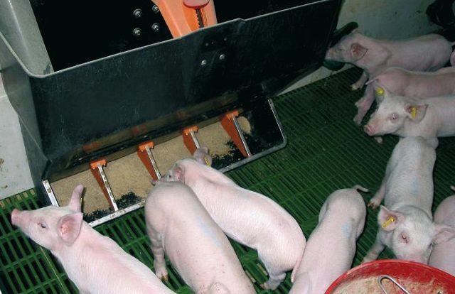 Один из вариантовмеханизированной кормушки для свиней