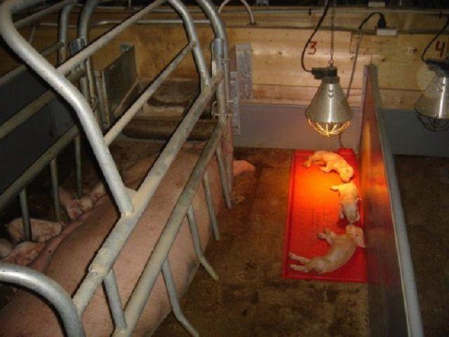 Инфракрасный зональный обогрев свинарника
