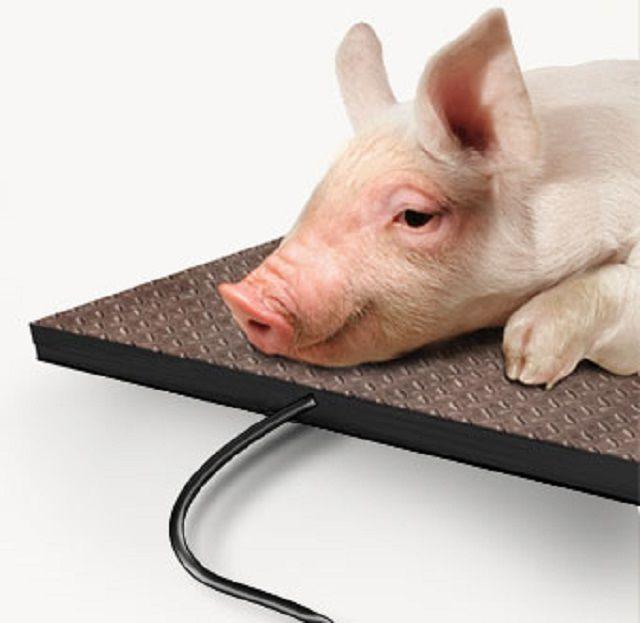 При нормальном обогреве свинарника поросята намного быстрее набирают вес