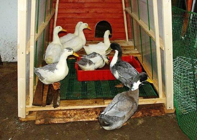 Тамбур-коридор на входе в птичник также может быть местом зимних «прогулок» на воздухе