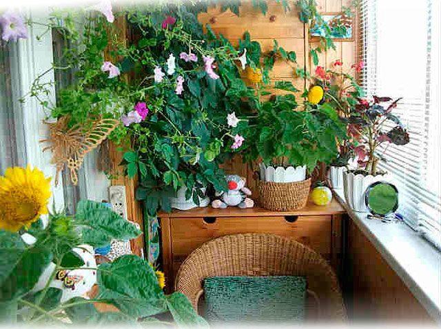 Обилие комнатных цветов превращает балкон в оранжерею