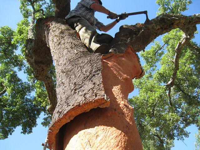 Снятие коры с пробкового дуба – очередной слой полностью нарастет и будет готов к снятию только через 7 ÷ 9 лет
