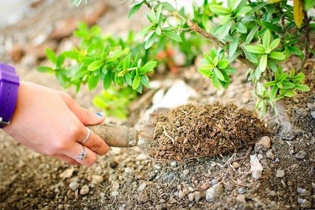 Любые культурные растения требуют регулярной подкормки и удобрения почвы на месте произрастания