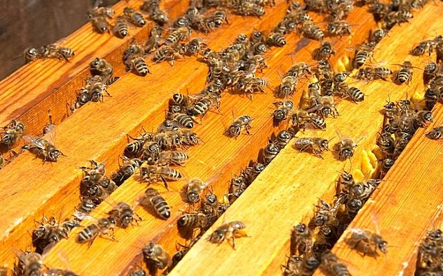 Пчелиная семья – это наглядный пример высокоорганизованного сообщества, с четкой иерархией особей и определенным набором функций для каждой из пчел
