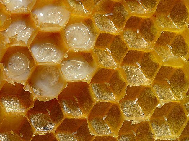 Соты с развивающимися личинками пчел – каждая в своей ячейке