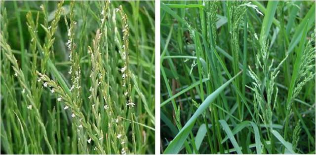 При всей внешней схожести, газонные травы могут серьезно отличаться скоростью прорастания семян и развитием молодых побегов. Например, райграс пастбищный (слева) значительно опережает по этим критериям луговой мятлик (справа)
