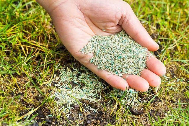 Продающиеся в специализированных магазинах семена газонных трав нередко уже перемешаны в требуемой пропорции с необходимыми «стартовыми» удобрениями