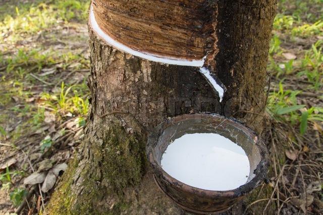 Добыча натурального латекса – природного каучука, представляющего собой сок гевеи