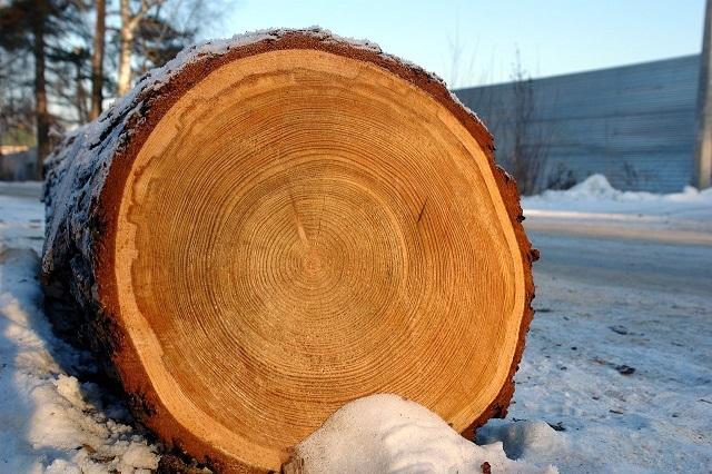 Характерный рисунок для «северного» дерева — годовые кольца расположены очень плотно друг к другу.