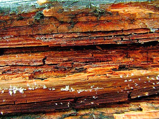 Не обработанная соответствующим образом древесина становится крайне уязвимой к грибковому поражению