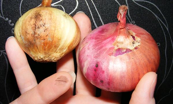Пораженные луковицы
