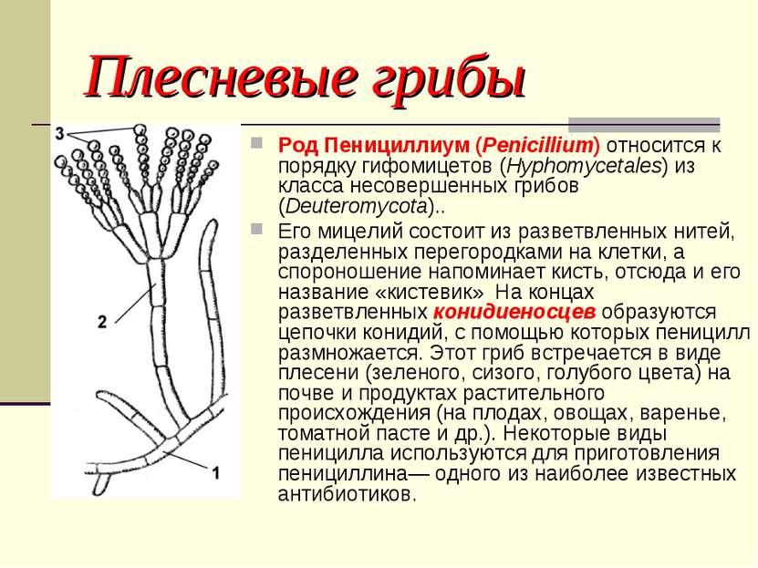 Пенициллиум