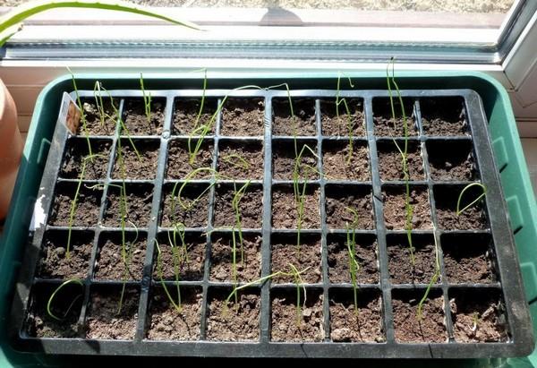 Как вырастить лук из семян?