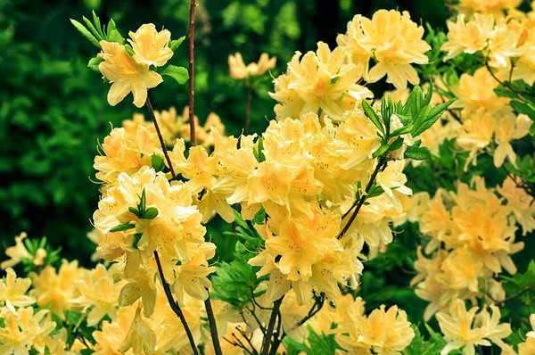 Сорт рододендрона Нарциссифлора обладает цветками лимонного оттенка