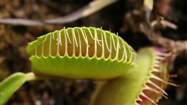 Переваривать свою добычу растение может около недели, иногда – дольше