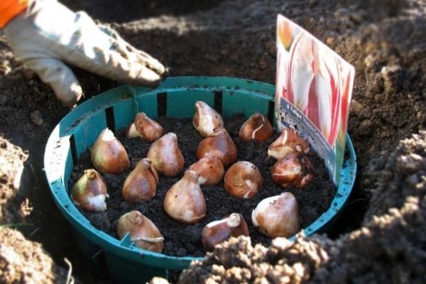 Высаживать больные луковицы нельзя – они все равно не вырастут в красивые растения