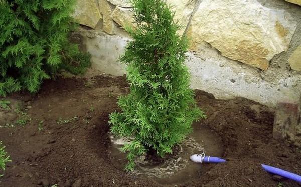 Поскольку туя растет довольно медленно, нужно «помогать» ей регулярным и правильным поливом, мульчированием и удобрениями