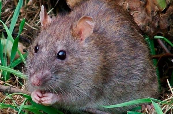 Часто крысы не погибают от ядовитых препаратов – тогда нужно выбирать более сильное средство