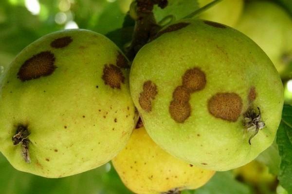 Парша чаще всего поражает яблони и груши. От нее страдают и листва, и плоды, и побеги