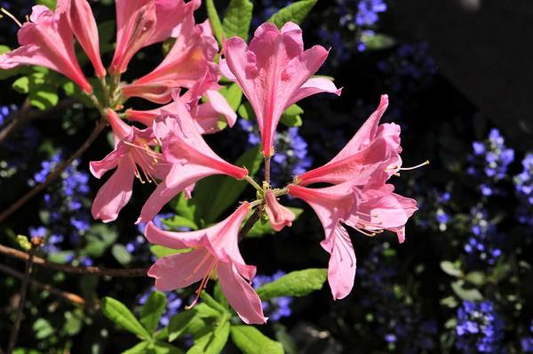 Цветки гентского рододендрона могут иметь разный оттенок
