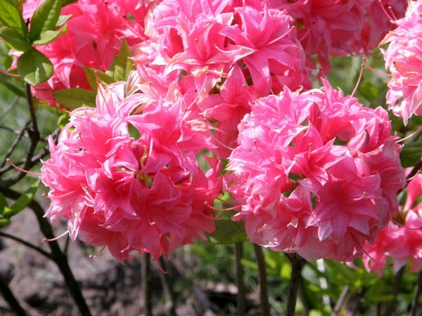 Рододендрон листопадный Хоумбуш