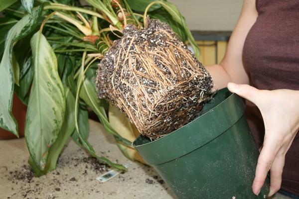 Многие любители комнатных растений любят пересаживать своих «питомцев» в огромные горшки, чтобы в будущем им хватило место – но это неправильно