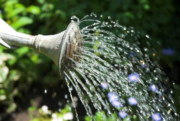 Поливать растение рекомендуется непосредственно под корень, и лучше делать это по вечерам или утром, чтобы листья не получили ожоги от лучей солнца