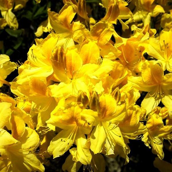 Сорт Аннеке имеет достаточно крупные цветы