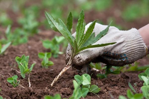 Сорняки – враги тюльпанов, поскольку они отнимают у цветов питательные элементы