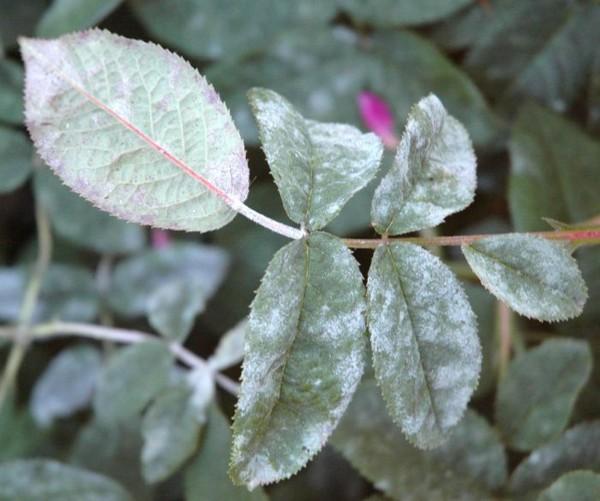 Растения из-за поражения мучнистой росой становятся слабыми и часто гибнут