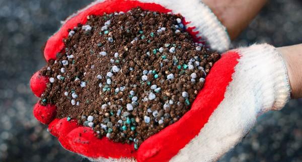 Важно не переборщить с подкормками Василистника, поскольку избыток определённых веществ способен убить растение