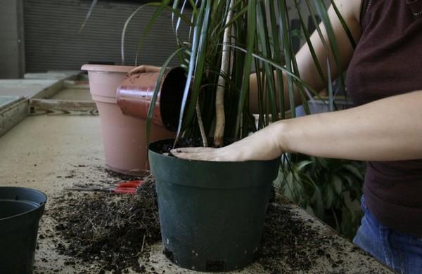 Для взрослых особой достаточно раз в год заменять верхний слой грунта