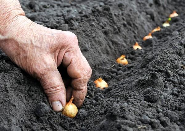 Можно прорастить луковицы даже без земли: для этого используют контейнеры от яиц либо просто заполняют емкость с луковицами водой