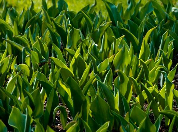 Пересаживают тюльпаны раз в 3-4 года – если этого не делать, они просто перестанут цвести