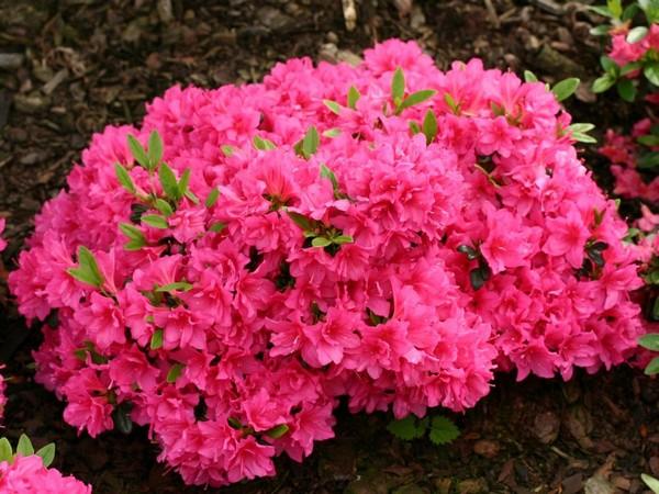 Тупой рододендрон имеет цветы разной окраски, которая к тому же связана с его зимостойкостью