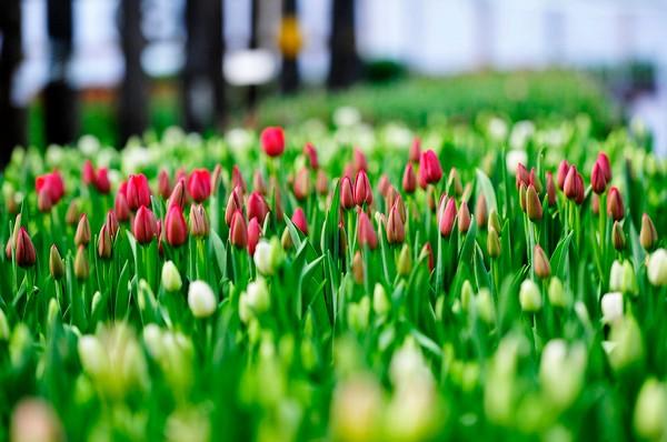 Тюльпаны, выращенные из семян, обычно не сохраняют сортовых признаков цветка-родителя