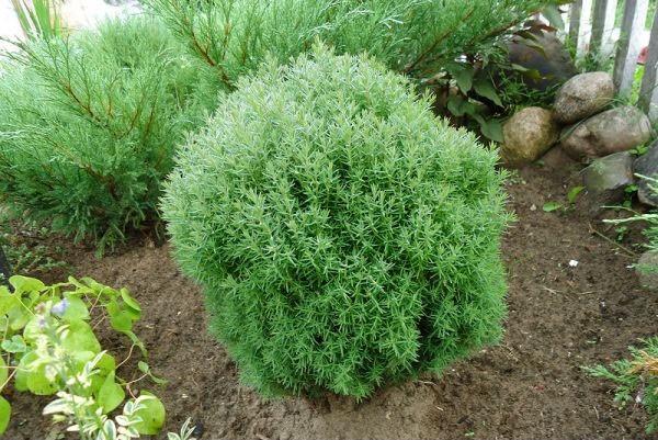 Туя Тедди – растение миниатюрное, которое смотрится очень приятно на любом участке