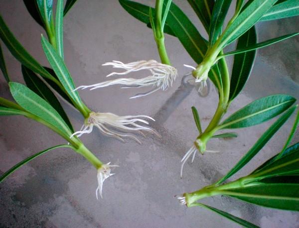 Проще выращивать олеандр из черенка – во-первых, это потребует меньше затрат сил и времени, во-вторых, растение сохранить сортовые признаки