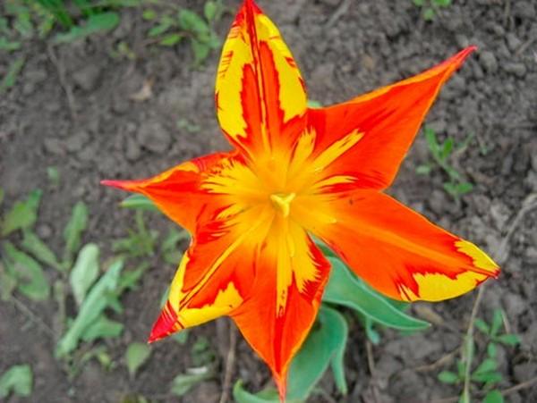 Тюльпаны, пораженные пестролепестностью, спасти не удастся, поэтому нужно проводить профилактику
