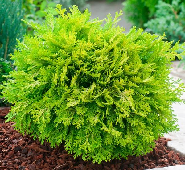 Кипарисовик – растение морозоустойчивое, но на всякий случай его можно укрыть на зиму