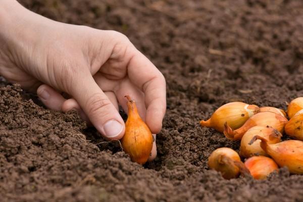 При посадке весной почву лучше заготовить осенью – внести все необходимые удобрения, продезинфицировать