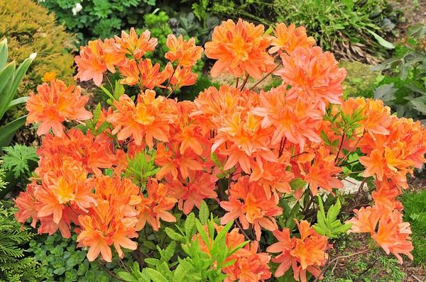 Японский рододендрон часто имеет цветки яркого лососевого цвета невероятной красоты