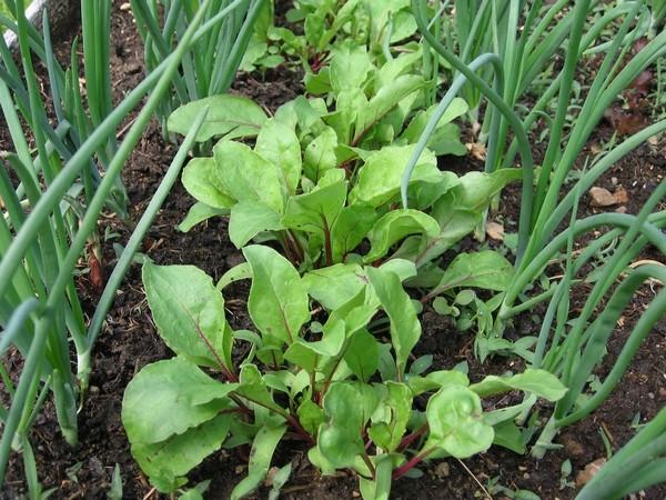 При выращивании лука-севка самостоятельно из «чернушки» полноценные луковицы можно будет получить лишь спустя год
