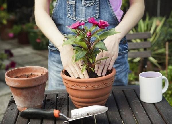 Пересаживать комнатные растения лучше всегда после пробуждения от зимней «спячки», чтобы не навредить им